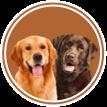 Labrador & Golden Retriever